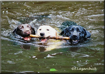 black, yellow and chocolate swimming labradors